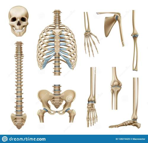 small resolution of realistic human skeleton parts set with skull spine scapula bones of pelvis and limbs isolated vector illustration