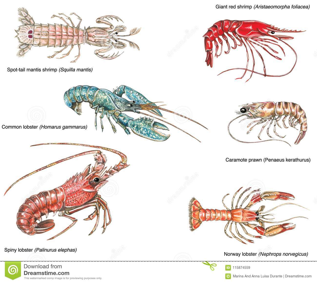 Scientific Illustration Of Different Crustaceans Stock