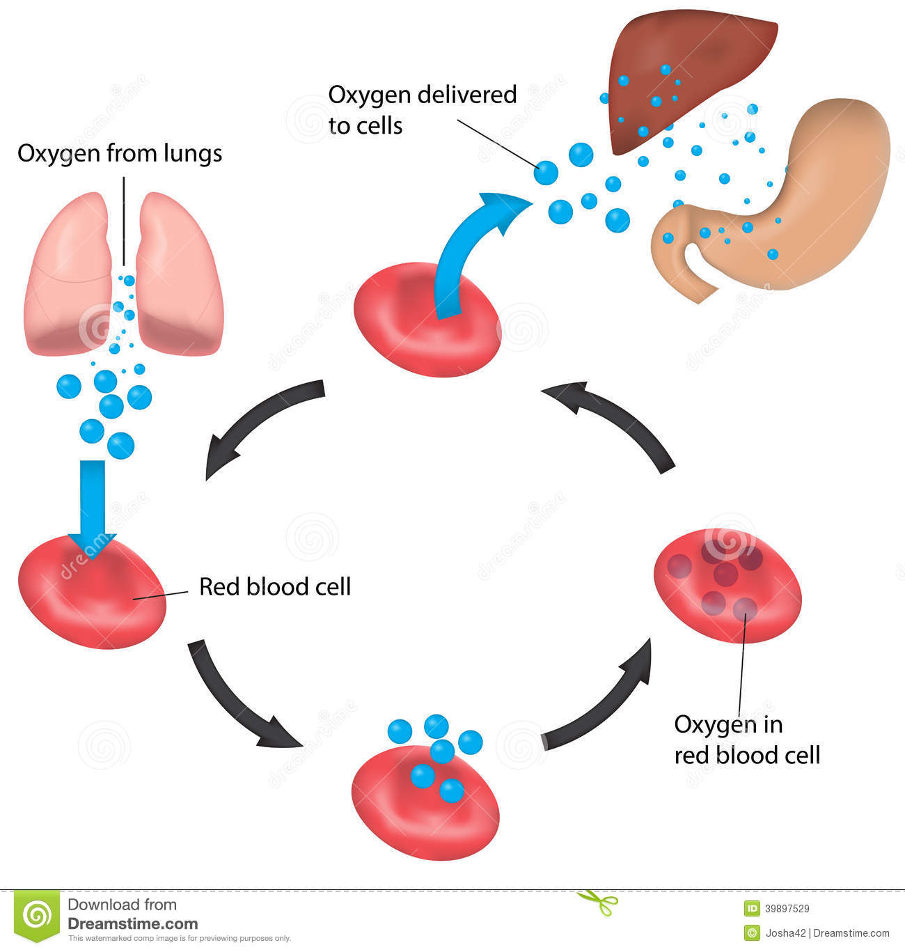 Red Blood Cell Cycle Respiration Labeled Liver And Stock