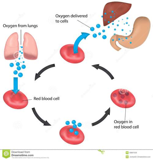 small resolution of red blood cell cycle respiration labeled liver and
