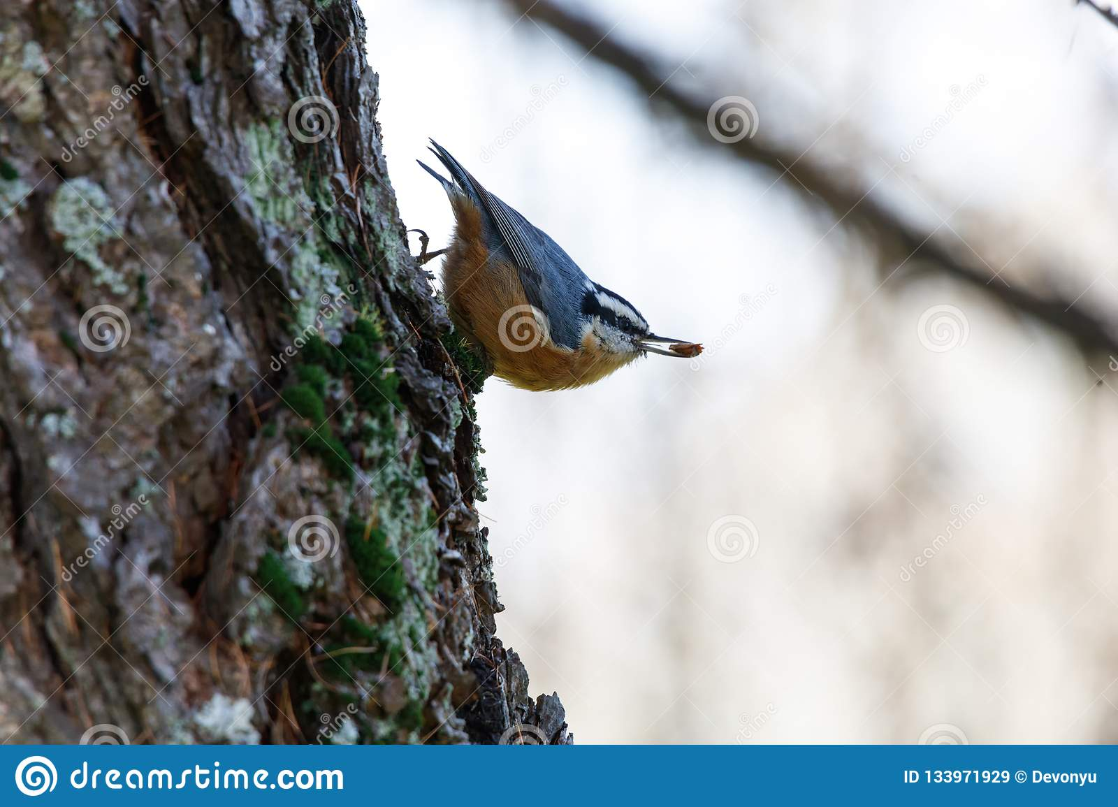 Red Breasted Nuthatch Stock Image Image Of Wildlife 133971929