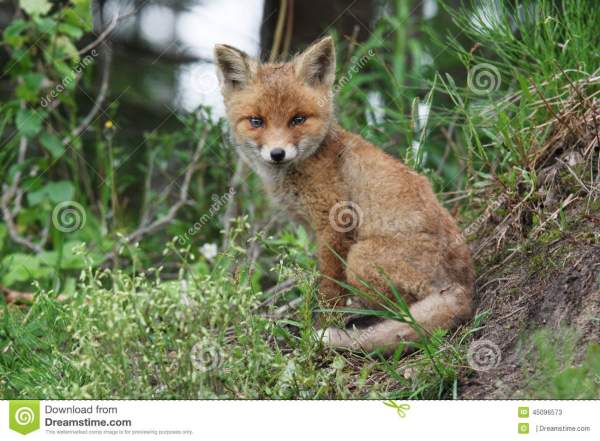 Red Fox Smile Stock - 45096573