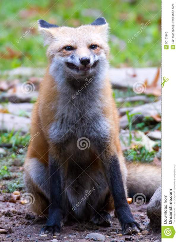 Red Fox Smile Stock - 431