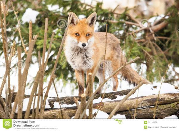 Red Fox In Winter Royalty Free Stock