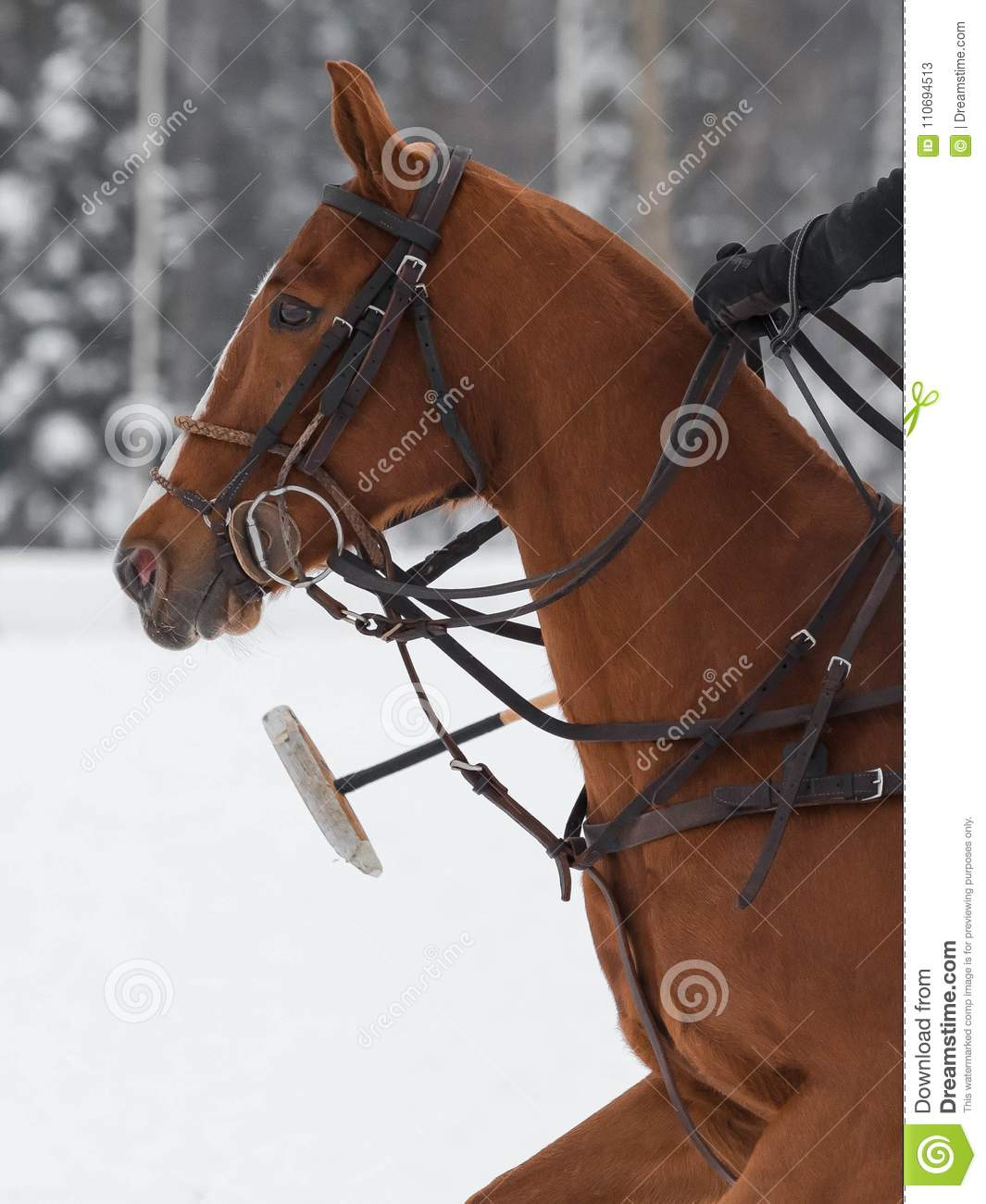 hight resolution of red horse pony head in harness on horse polo