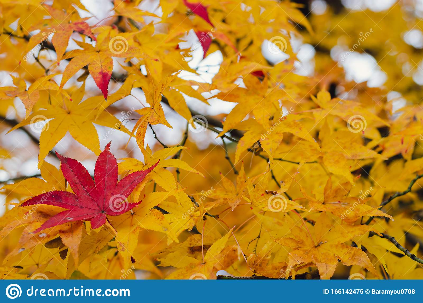 Red Maple Leaf On Yellow Maple Tree Stock Image