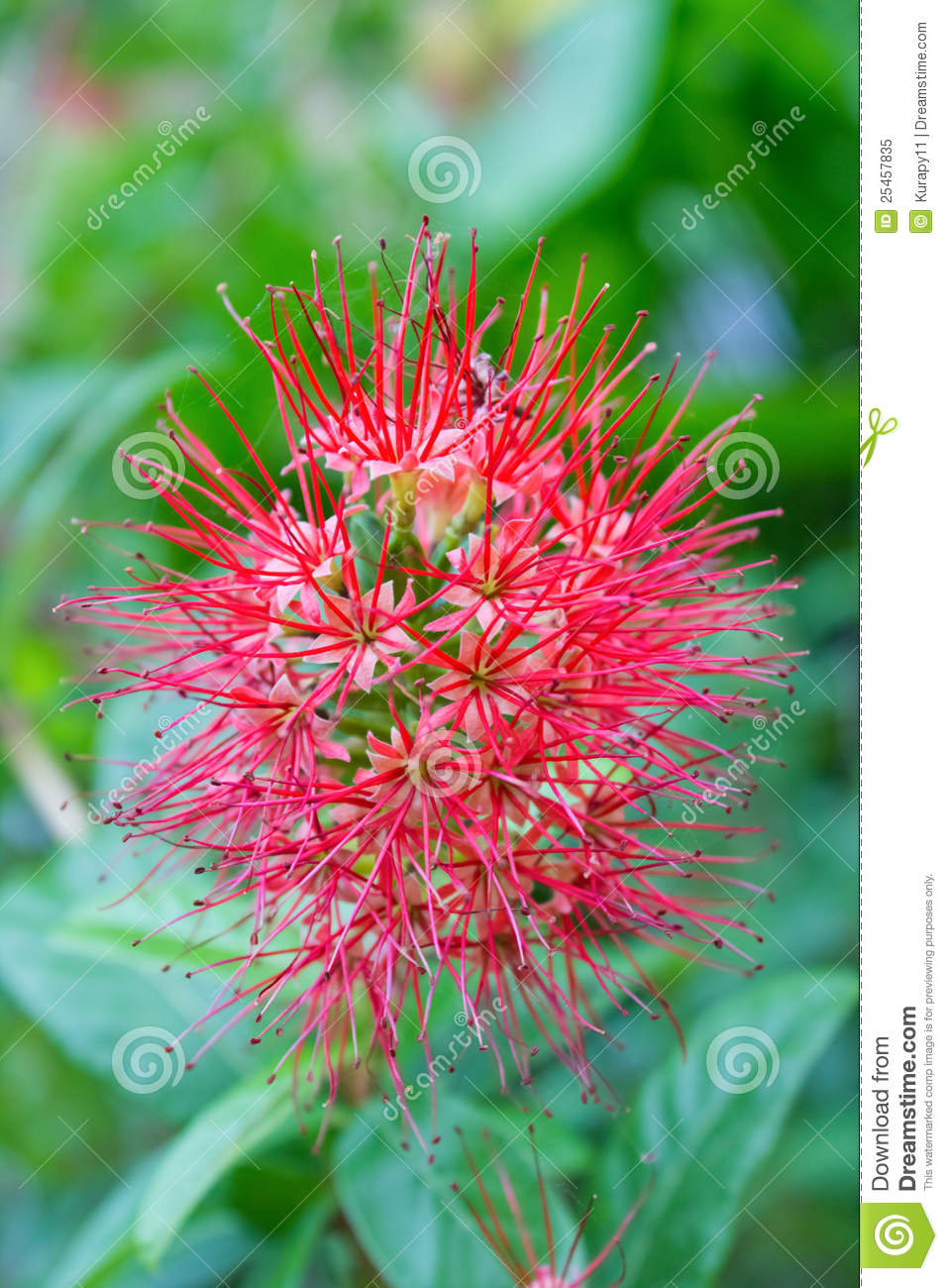 Free Fall Wallpaper Pics Red Needle Flower Royalty Free Stock Photo Image 25457835