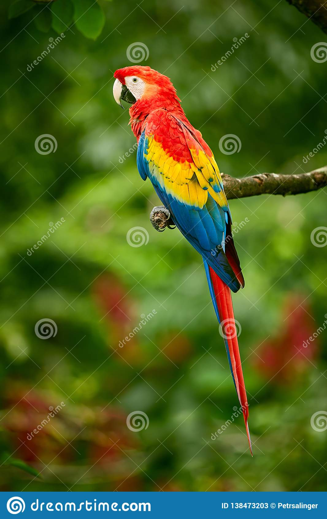 red parrot macaw parrot
