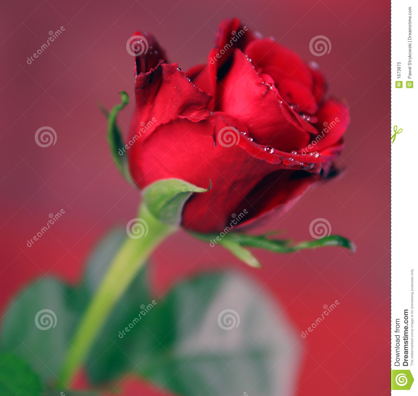 Red Single Rose Stock Image Image Of Nature Flowers