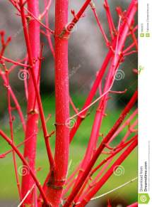 Red Tree Branches Royalty Free Stock - 5663675