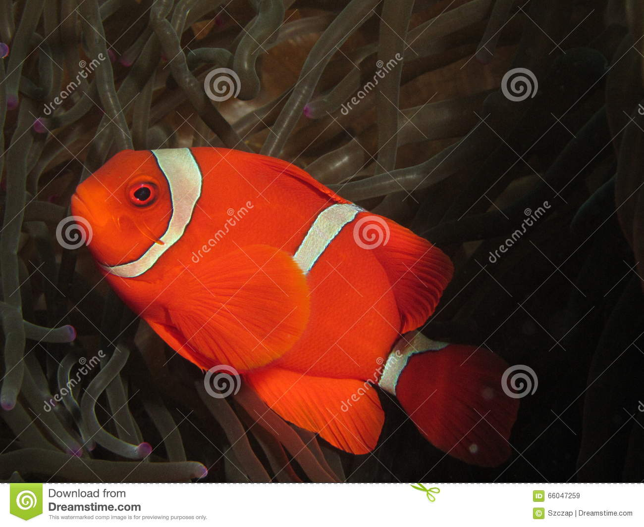 Red And White Anemonefish Stock Image Image Of Clownfish