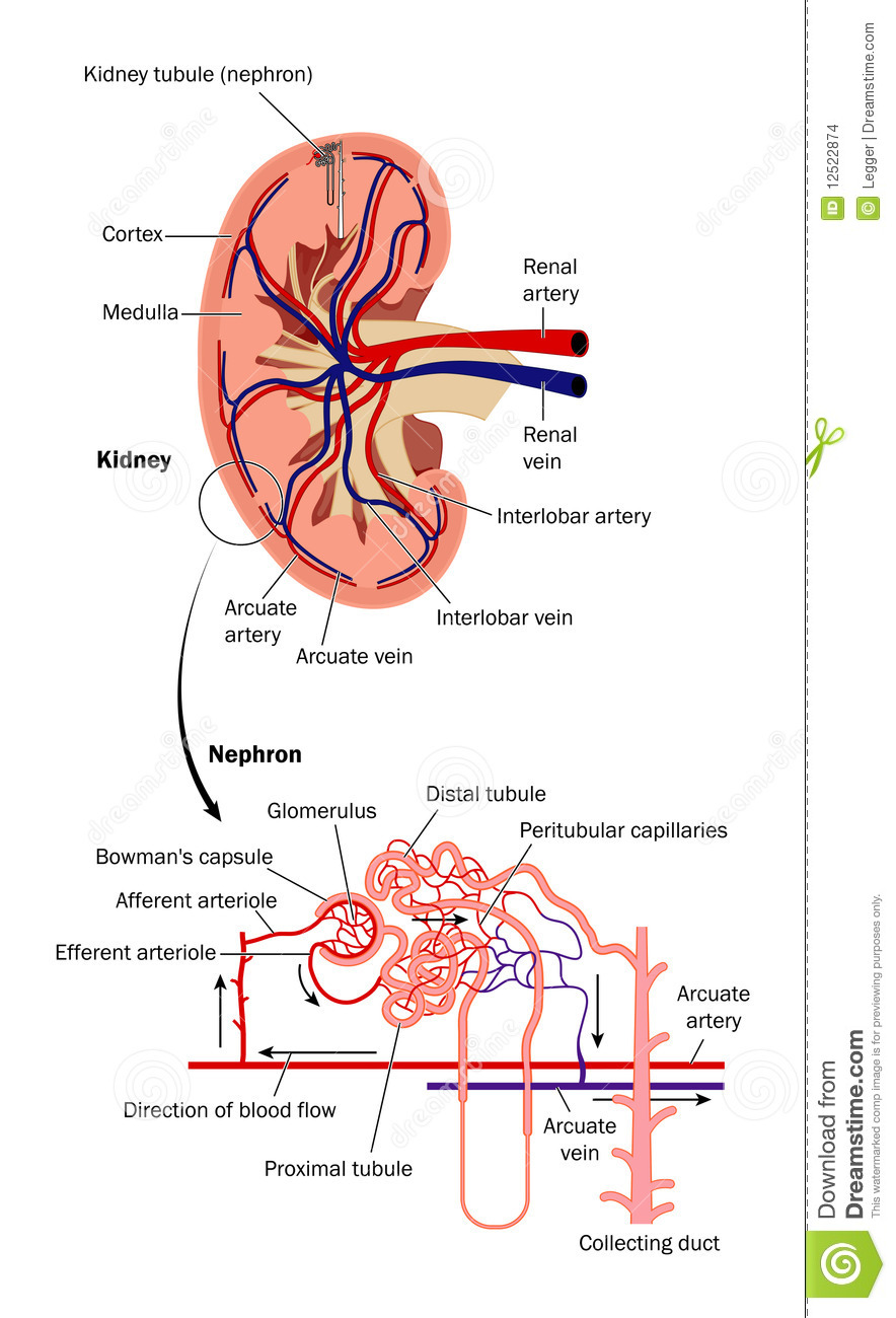 hight resolution of renal blood flow