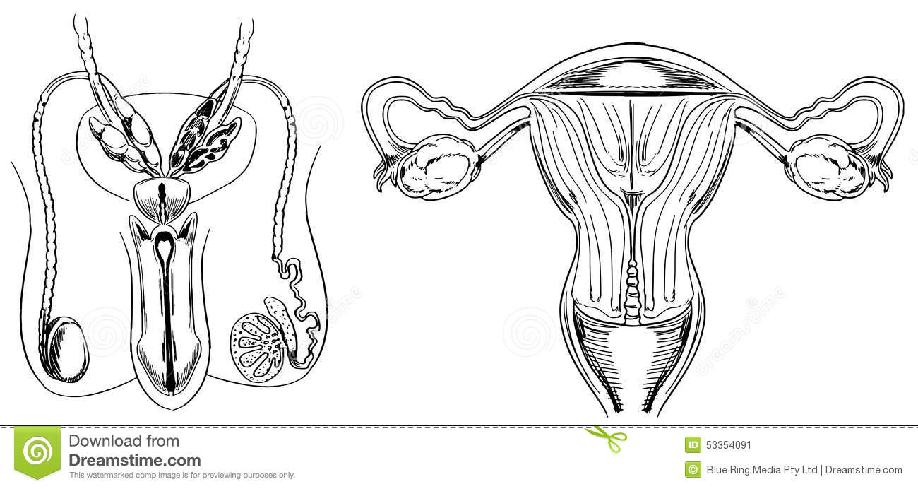 Male And Female Reproduction System Vector Illustration