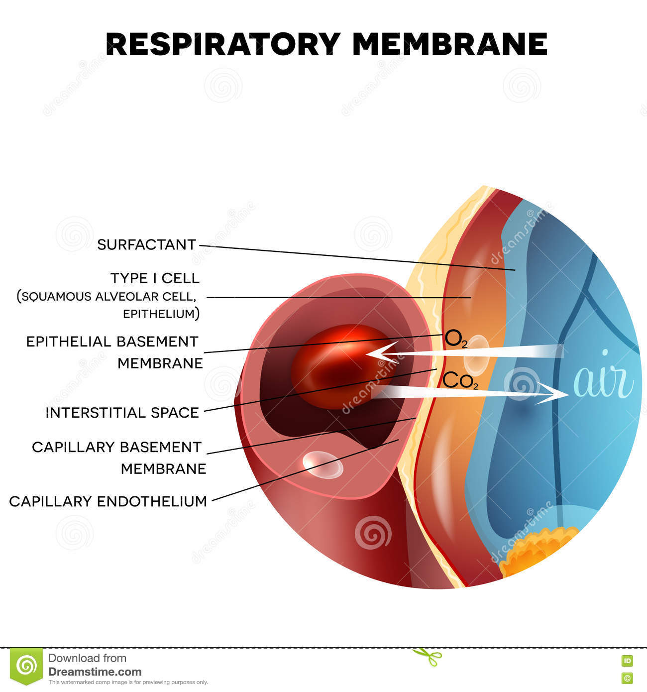 lung alveoli diagram wiring for hot tub respiratory membrane of alveolus stock vector image
