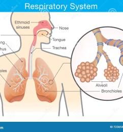 respiratory system of human  [ 1300 x 960 Pixel ]