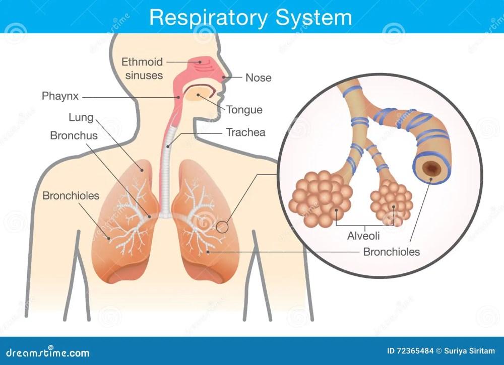 medium resolution of respiratory system of human
