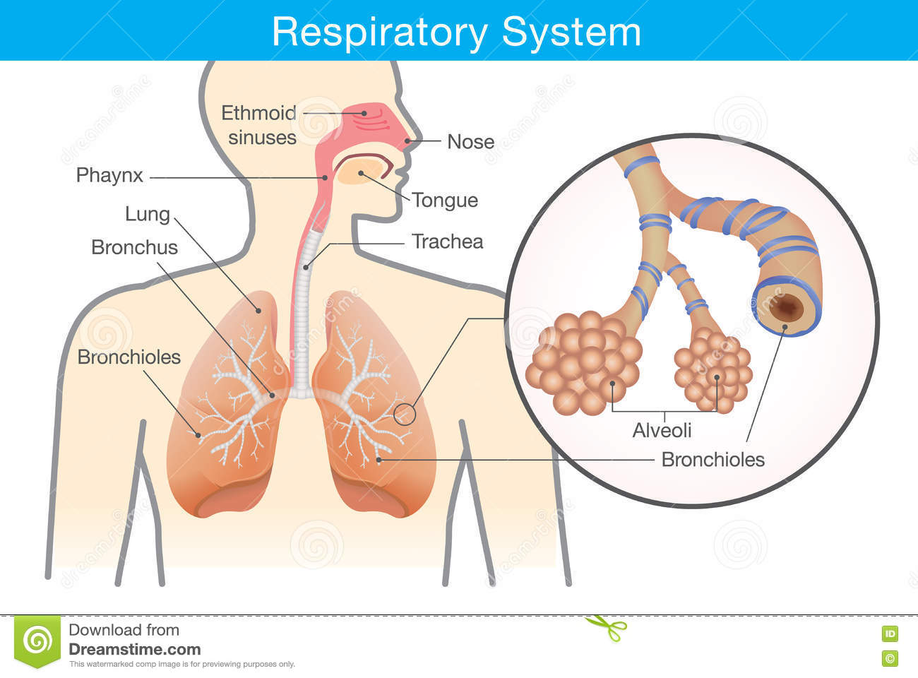 hight resolution of respiratory system of human