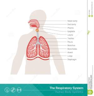 The Respiratory System Stock Vector  Image: 58713053