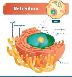 reticulum labeled vector illustration scheme anatomical diagram with endoplasmic reticulum cisternae nucleus and ribosomes  [ 1262 x 1300 Pixel ]