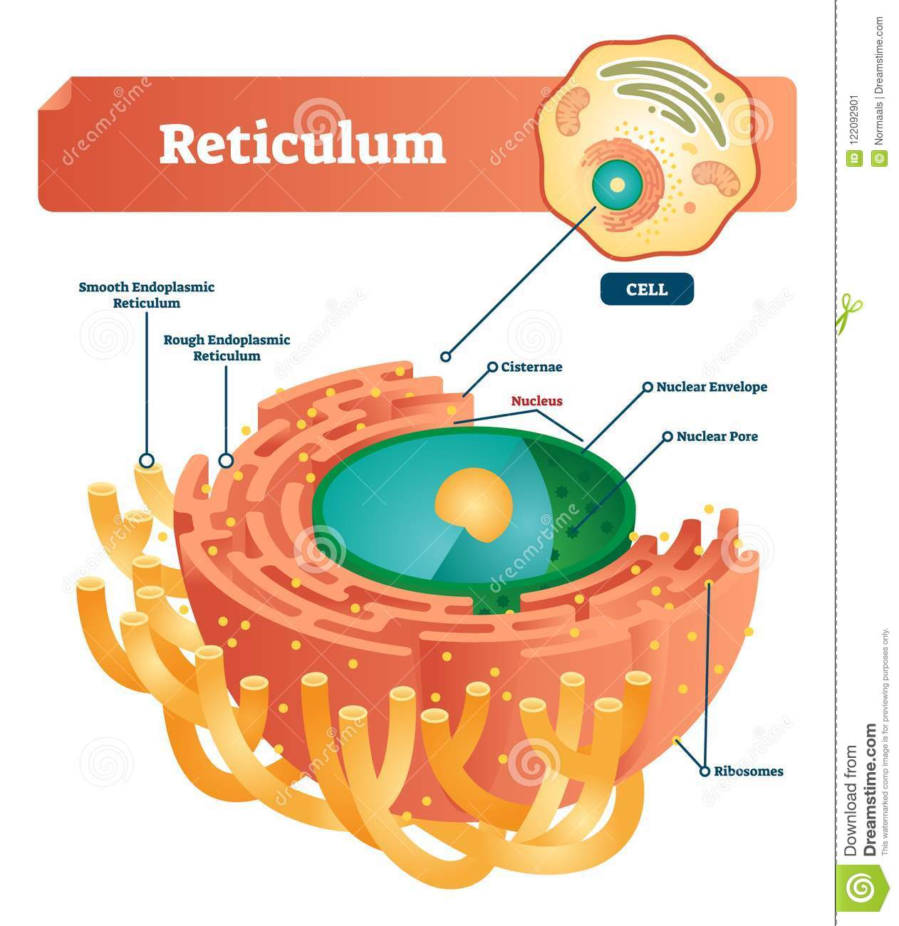 hight resolution of reticulum labeled vector illustration scheme anatomical diagram with endoplasmic reticulum cisternae nucleus and ribosomes