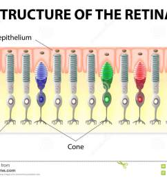 eye and vision structure of the retina rods and cones vector diagram [ 1300 x 954 Pixel ]