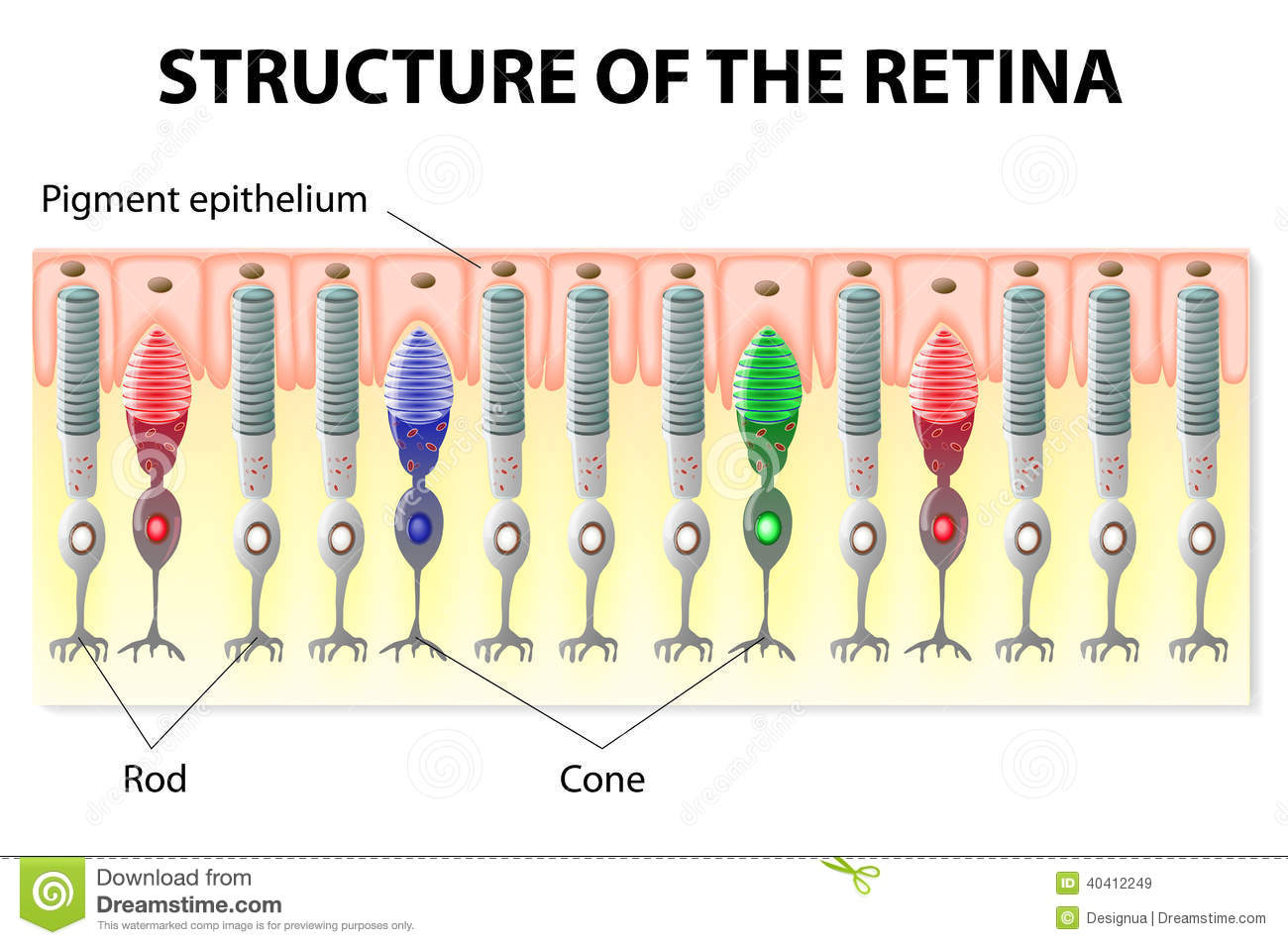 hight resolution of eye and vision structure of the retina rods and cones vector diagram