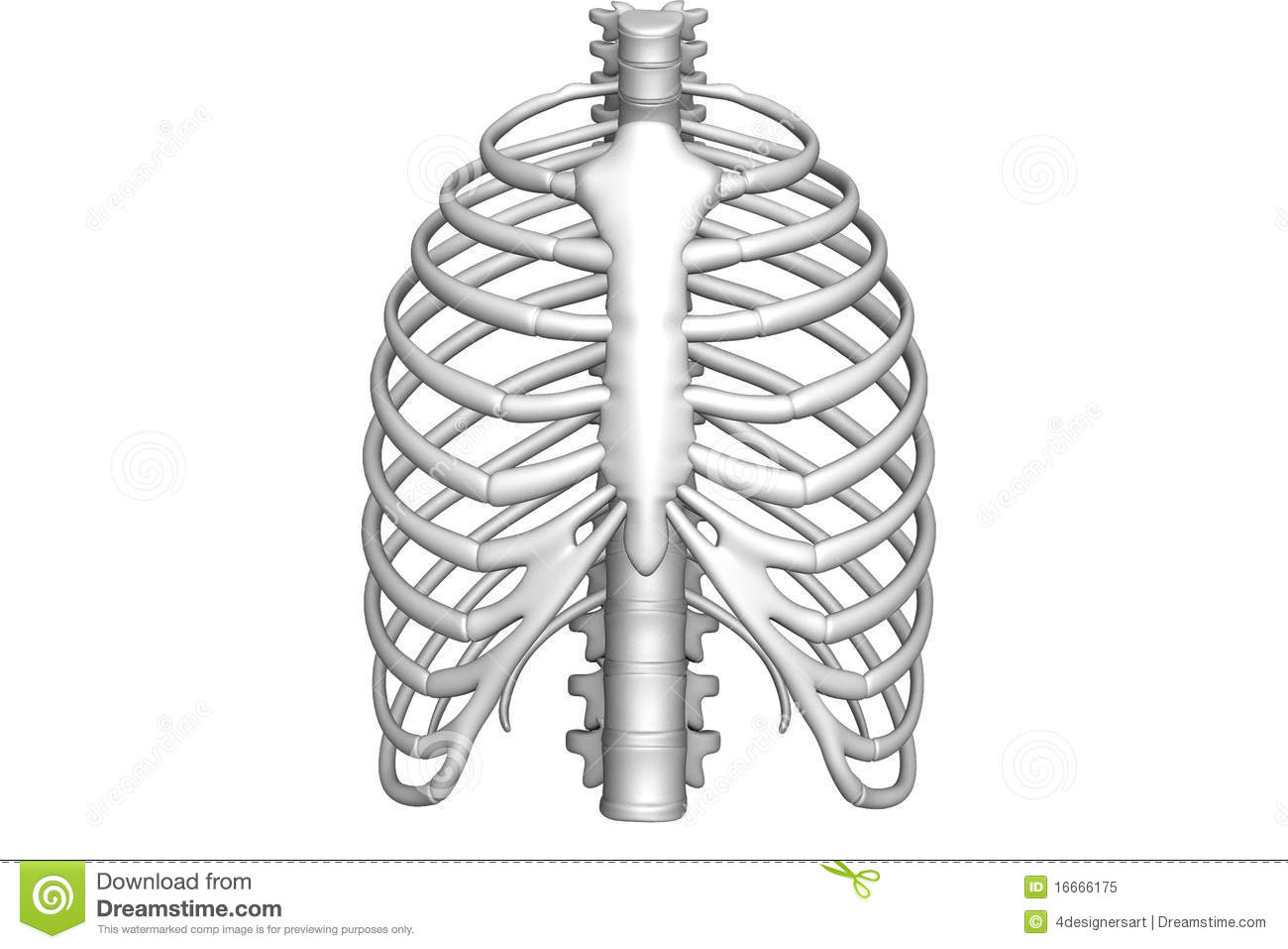 Rib Stock Illustration Illustration Of Male Thorax