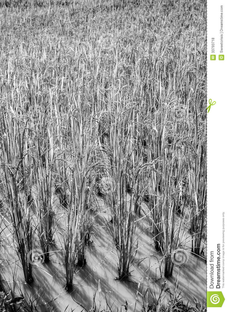 Field Black White Rice And