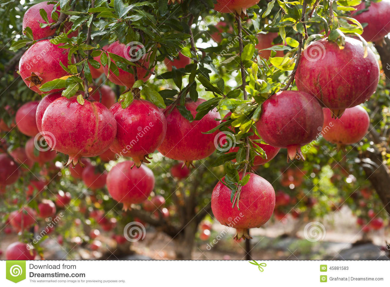 Ripe Pomegranate Fruit On Tree Branch Stock Photo Image