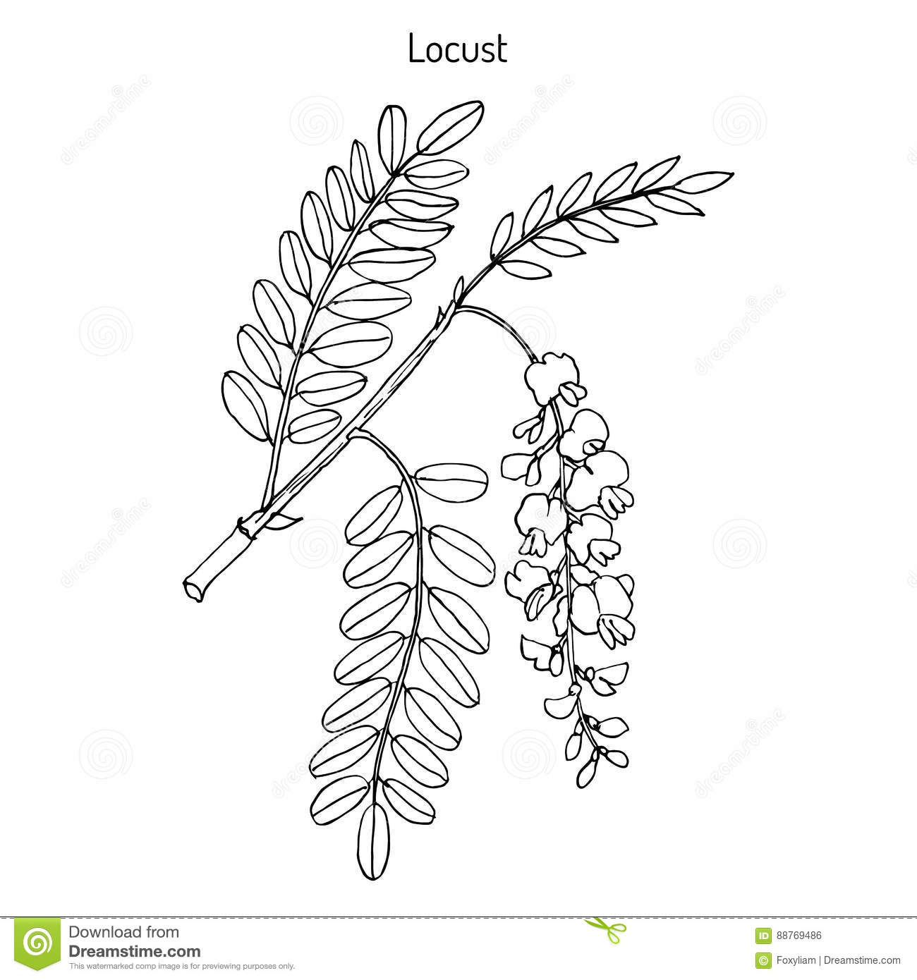Robinia Pseudoacacia Or Black Locust Stock Vector