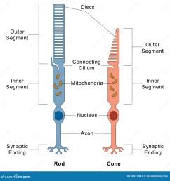 diagram for rod eye [ 1300 x 1390 Pixel ]