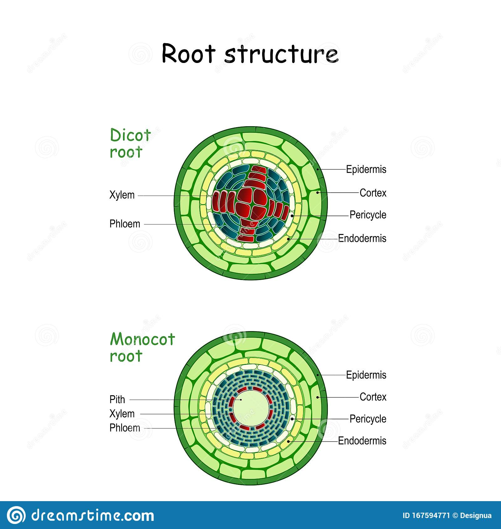 Root Structure Monocot And Dicot Stems Stock Vector