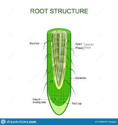 phloem stock illustrations 69 phloem stock illustrations vectors clipart dreamstime [ 1600 x 1689 Pixel ]