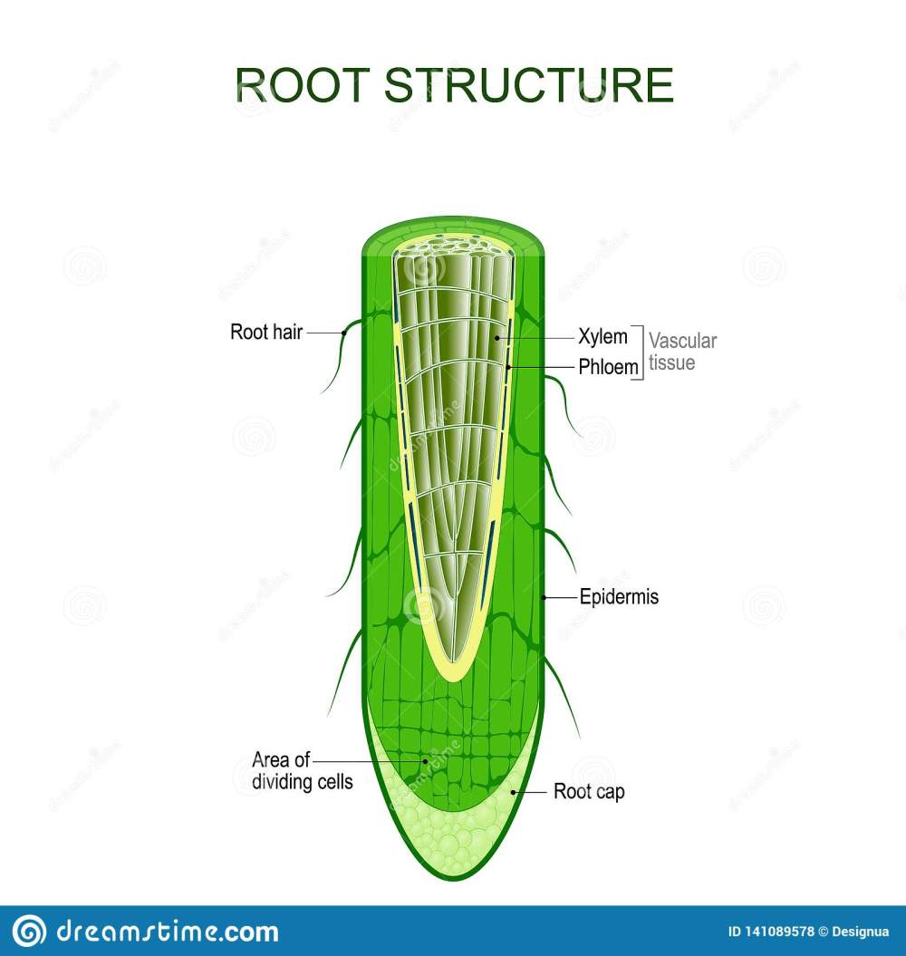 medium resolution of phloem stock illustrations 69 phloem stock illustrations vectors clipart dreamstime