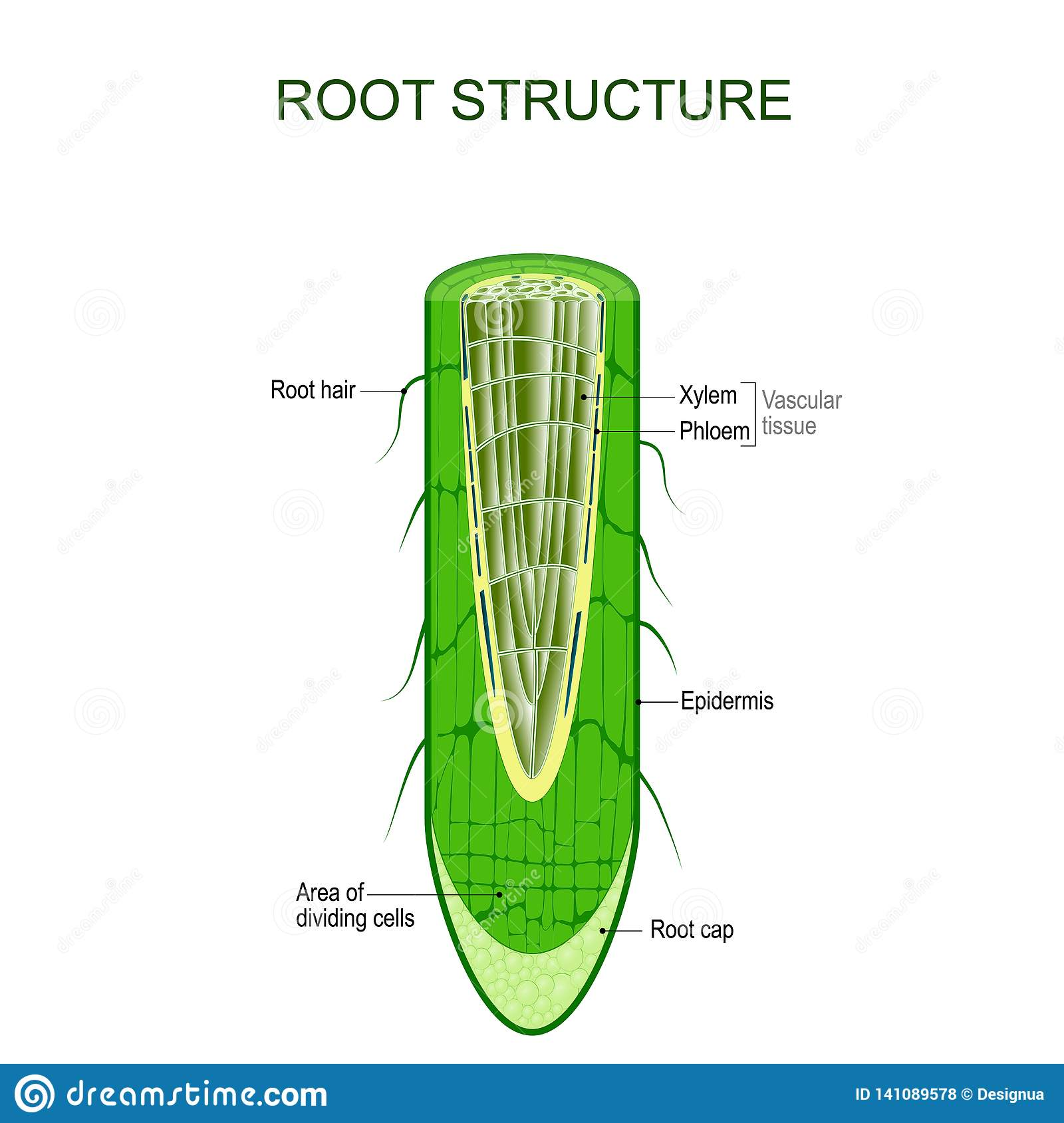 hight resolution of phloem stock illustrations 69 phloem stock illustrations vectors clipart dreamstime