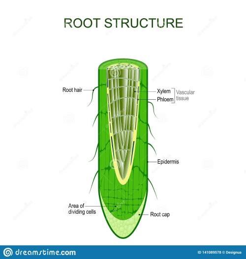 small resolution of phloem stock illustrations 69 phloem stock illustrations vectors clipart dreamstime
