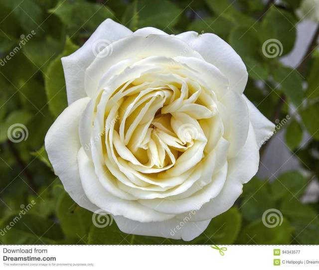 Rose Paintings Color Colored Roses White Roses In The Gardenroses Roses For The Day Of Love The Most Wonderful Natural Roses Suitable For Web Design