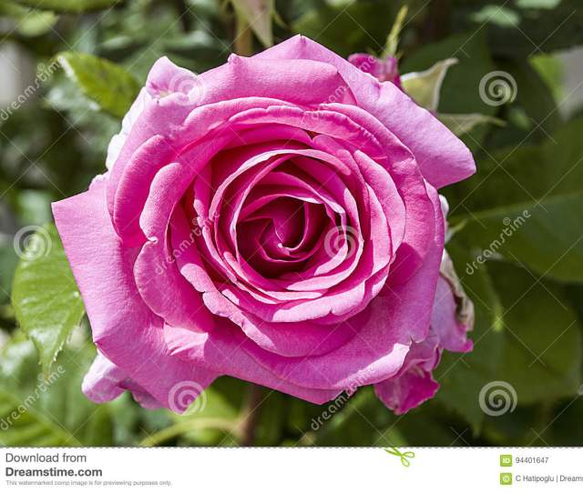 Roses Love Symbol Roses Pink Roses For Lovers Day Natural Roses In The