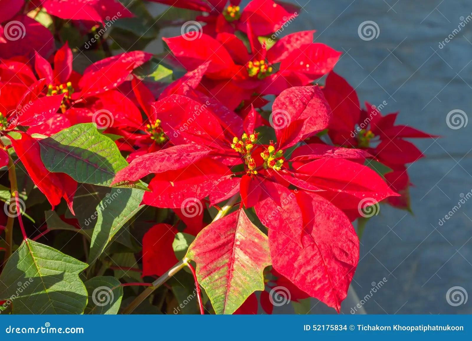 Weihnachtsstern Garten Weihnachtsstern Pflege Standort Schneiden