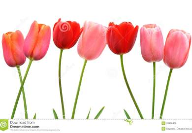 Red Tulip Images Stock Pictures Royalty Free Red Tulip