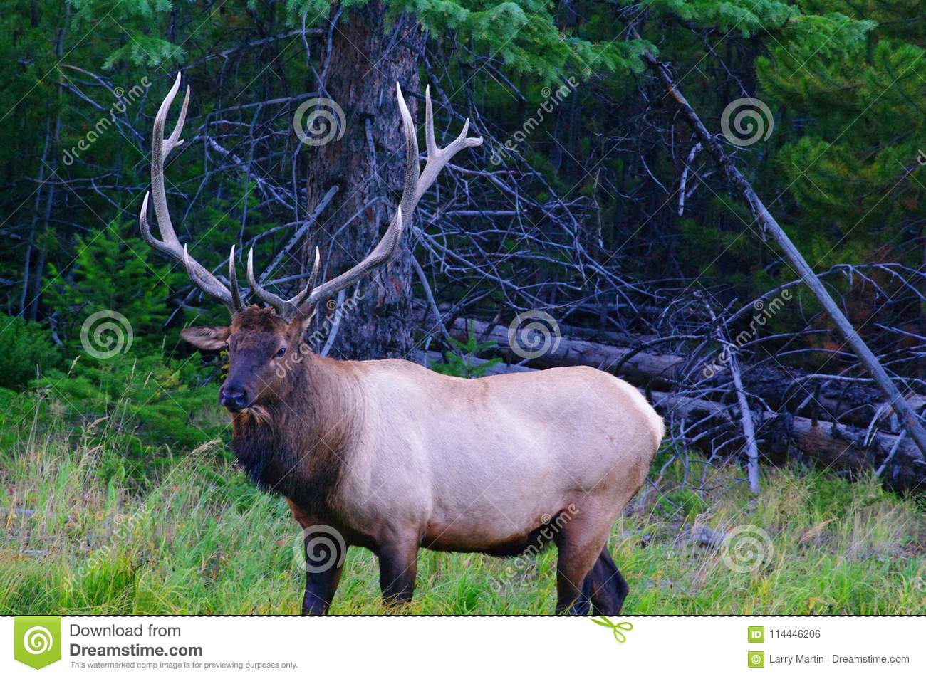 Bulls 710 to 730 lb, 4.9 feet at the. Royal Bull Rocky Mountain Elk Stock Photo Image Of Subspecies Royal 114446206