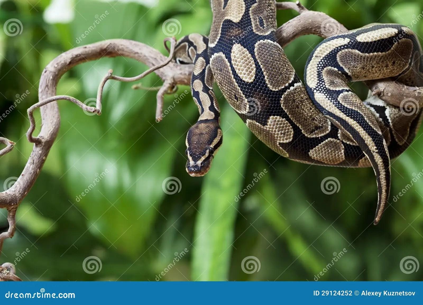 Royal Python Snake On A Wooden Branch Stock Photography