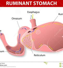 ruminant stomach the ruminant species have one stomach that is divided into four compartments rumen reticulum omasum and abomasum  [ 1300 x 996 Pixel ]