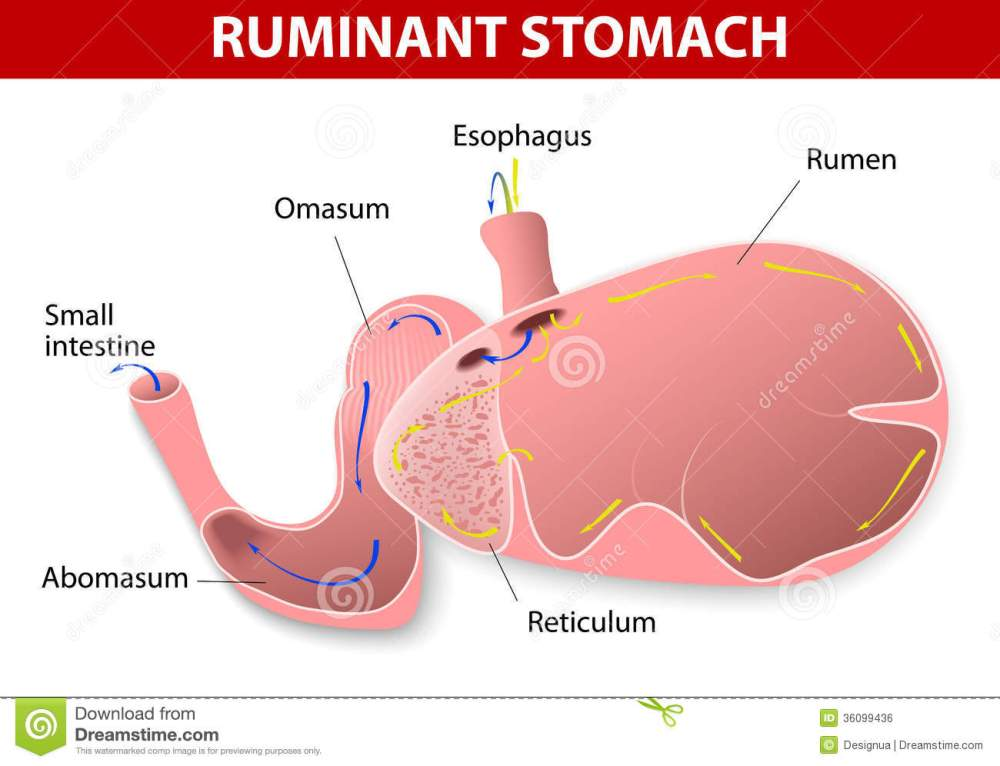 medium resolution of ruminant stomach the ruminant species have one stomach that is divided into four compartments rumen reticulum omasum and abomasum