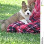 Corgi Puppy Stock Photo Image Of Sable Corgis Pembroke 102891300