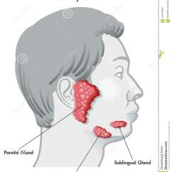 Anatomy Digestive Diagram Salivary Glands Les Paul Vintage Wiring Sublingual Cartoons Illustrations And Vector Stock Images