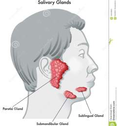 vector illustration diagram of a face in profile noting the salivary glands and their locations isolated on a white background  [ 1138 x 1300 Pixel ]