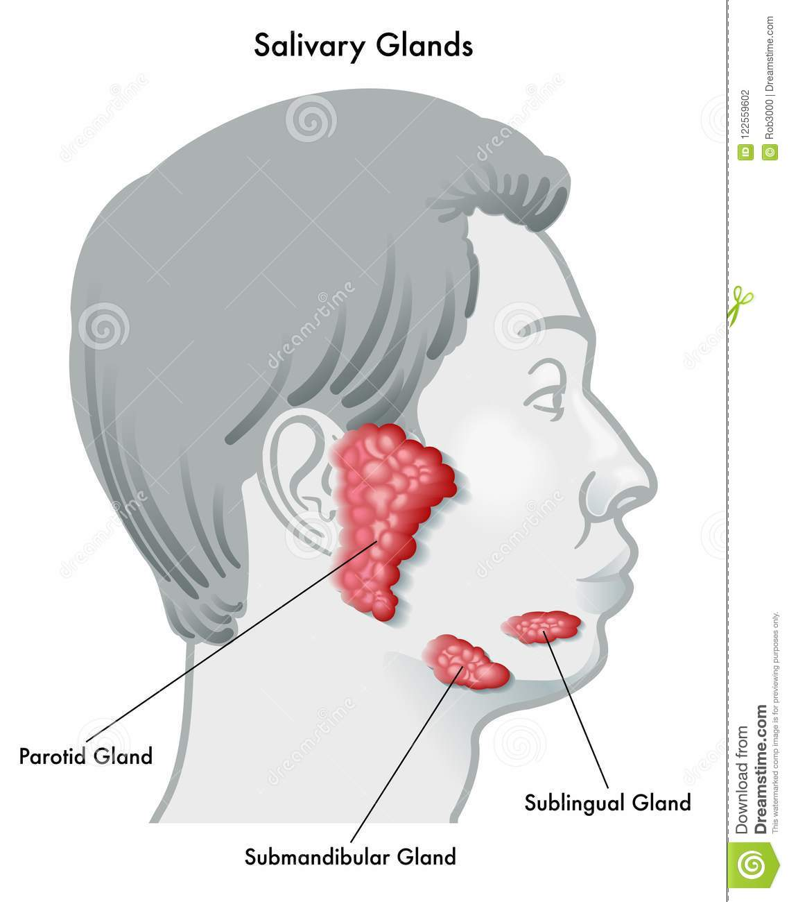 hight resolution of vector illustration diagram of a face in profile noting the salivary glands and their locations isolated on a white background