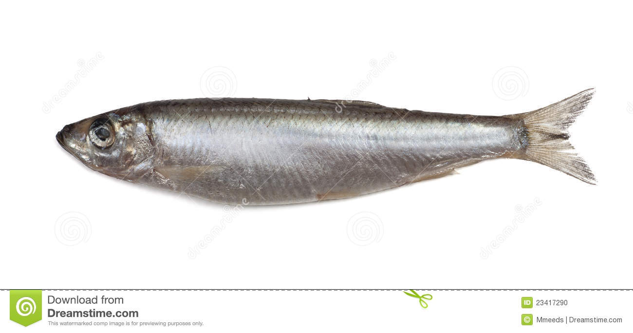 Salted sprat fish stock photo. Image of meal. fishing - 23417290