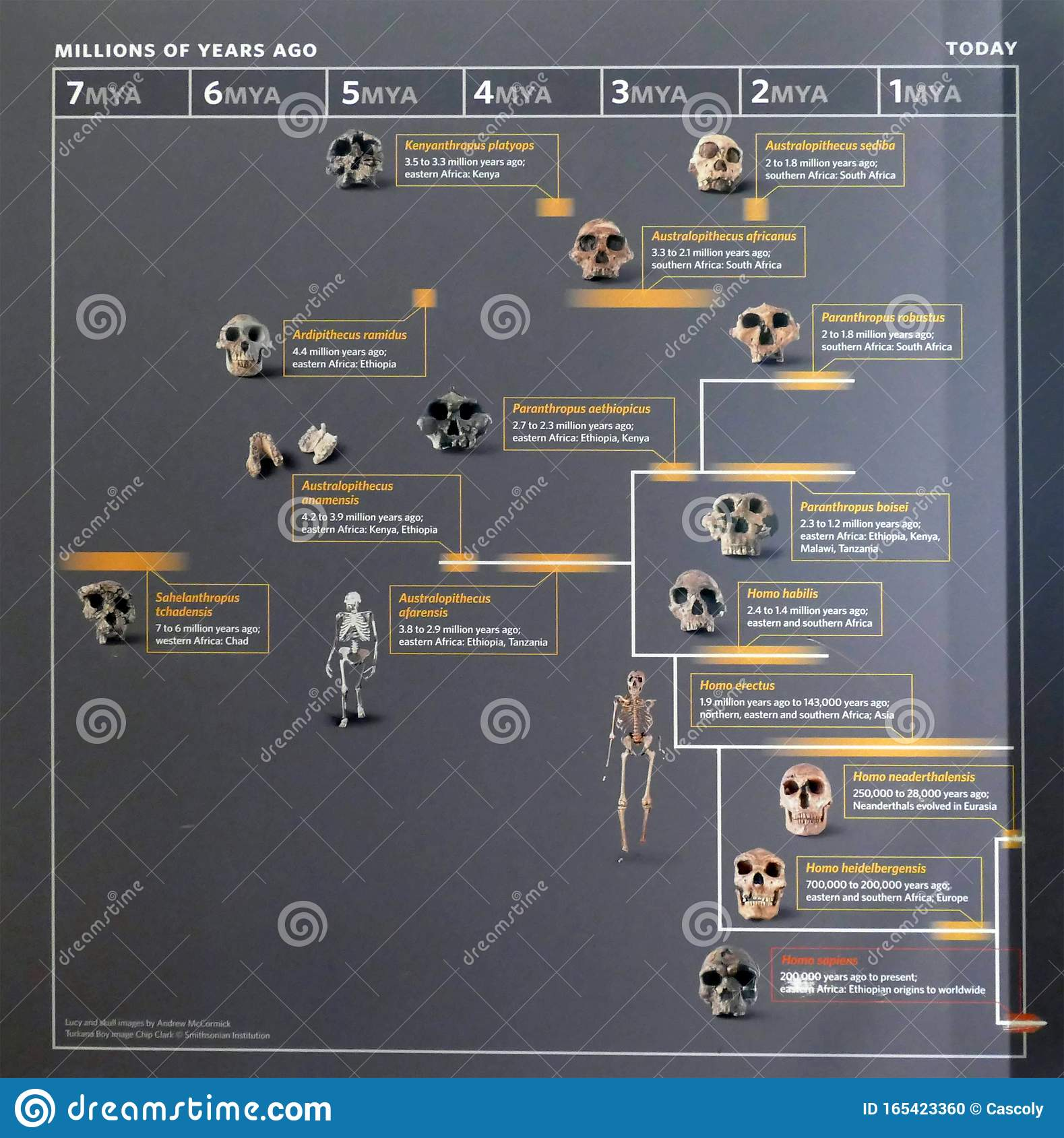 Human Evolution Family Tree Chart Editorial Image